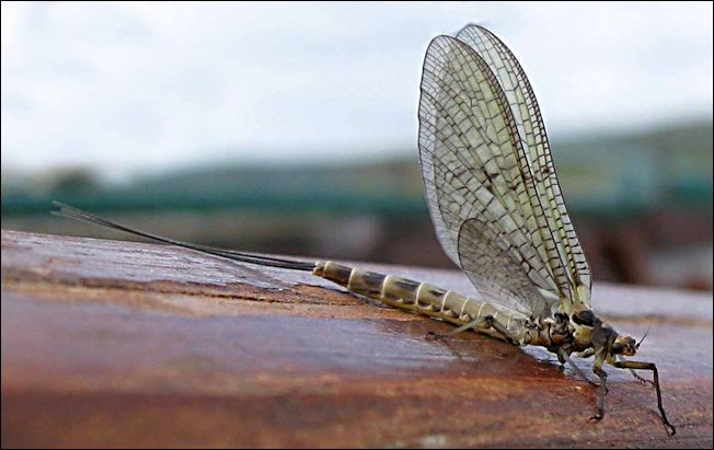 The Adam's dry fly will imitate this mayfly and can be used for trout fishing