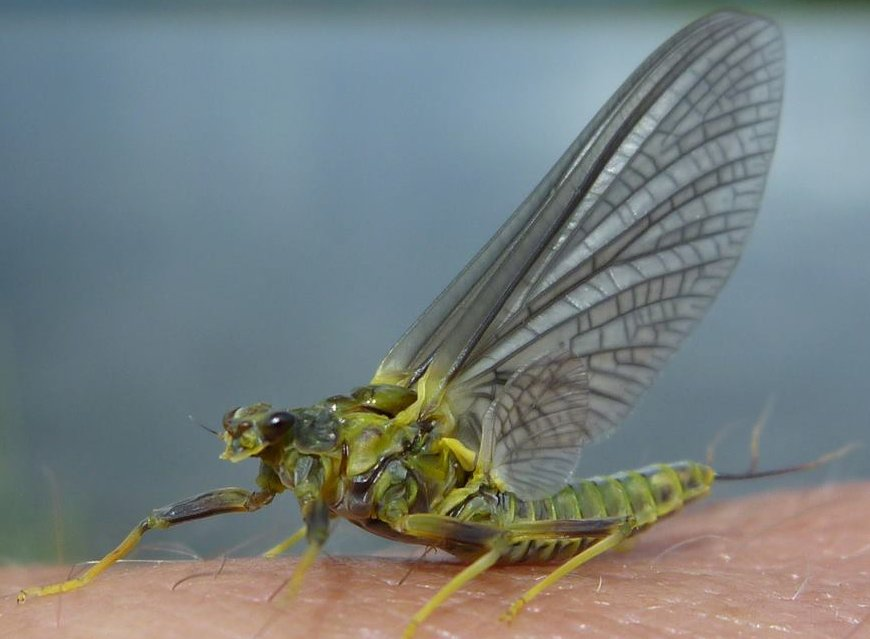 The Blue Winged Olive Fly is eaten by trout