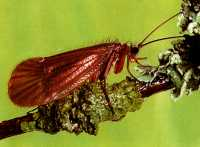 the Natural Brown Caddis adult insect sometimes known as a brown sedge