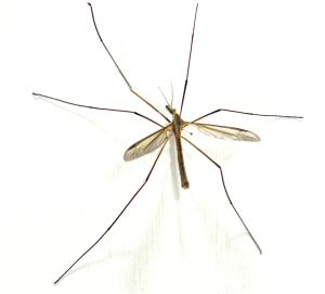 the natural daddy longlegs crane fly