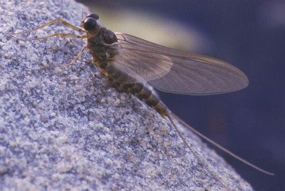 The Dark Hendrickson is a good choice to imitate the Heptagrenia Adult Mayfly