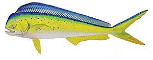 The Dolphinfish