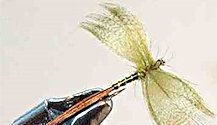 Green Drake Mayfly Spinner fly pattern