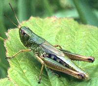 Green Hopper Dry Fly will imitate this grasshopper