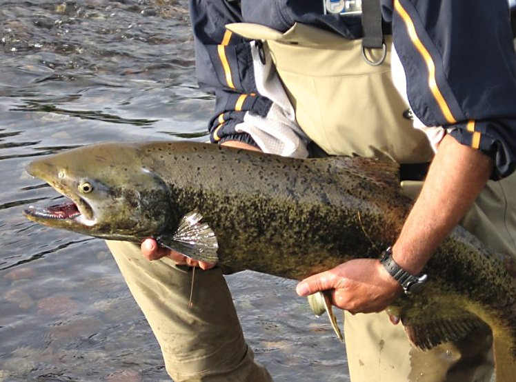 This female king salmon was caught on a red and orange alaskabou fly pattern