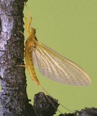Light Cahill Dry Fly pattern for trout fishing can imitate many upwing pale mayflies