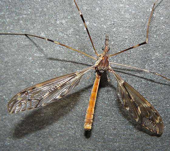 the natural orange bodied daddy longlegs crane fly