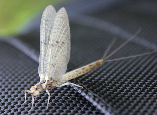 Pale Morning Dun Dry Fly pattern will imitate this mayfly for trout fishing
