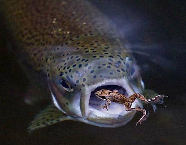 largemouth bass eating - photo #45