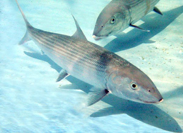 Use a white crazy charlie to catch bonefish