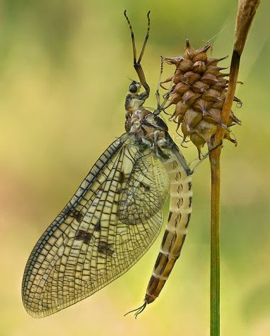 Yellow French Partridge Mayfly Spinner will imitate this mayfly